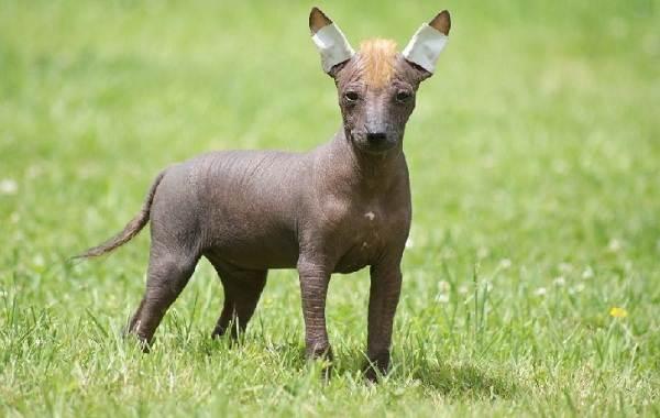 Лысые-породы-собак-Описание-особенности-названия-виды-и-фото-лысых-пород-собак-7