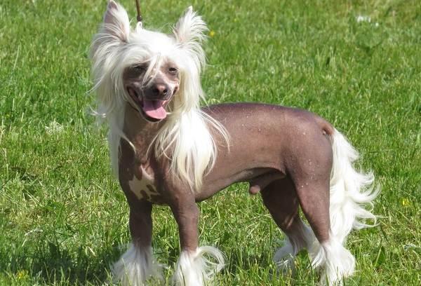 Лысые-породы-собак-Описание-особенности-названия-виды-и-фото-лысых-пород-собак-8