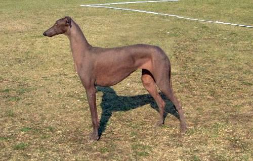 Лысые-породы-собак-Описание-особенности-названия-виды-и-фото-лысых-пород-собак-9