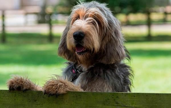 Оттерхаунд-собака-Описание-особенности-характер-уход-и-цена-породы-оттерхаунд-1