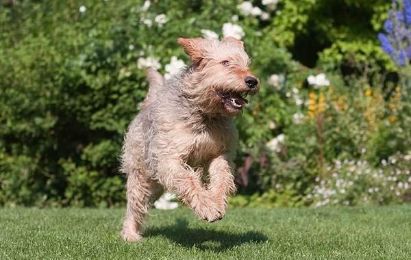 Оттерхаунд-собака-Описание-особенности-характер-уход-и-цена-породы-оттерхаунд-3