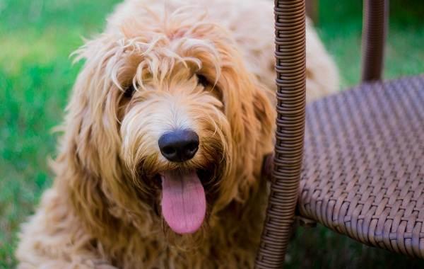 Оттерхаунд-собака-Описание-особенности-характер-уход-и-цена-породы-оттерхаунд-5
