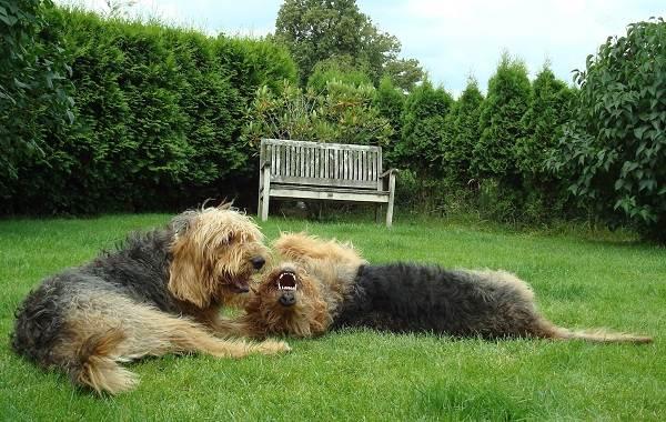 Оттерхаунд-собака-Описание-особенности-характер-уход-и-цена-породы-оттерхаунд-7