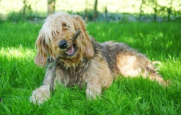 Оттерхаунд-собака-Описание-особенности-характер-уход-и-цена-породы-оттерхаунд-8