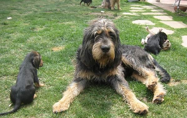 Оттерхаунд-собака-Описание-особенности-характер-уход-и-цена-породы-оттерхаунд-9