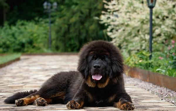 Самые-дорогие-породы-собак-1