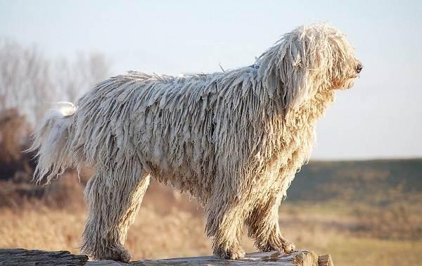 Самые-дорогие-породы-собак-11