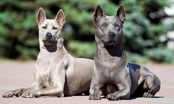 Самые-дорогие-породы-собак-12
