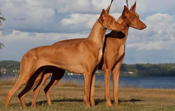 Самые-дорогие-породы-собак-16