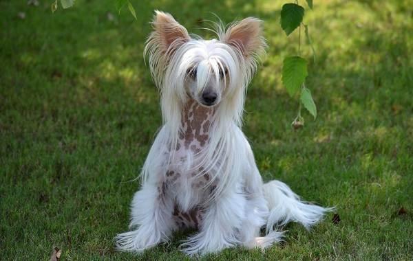 Самые-дорогие-породы-собак-18