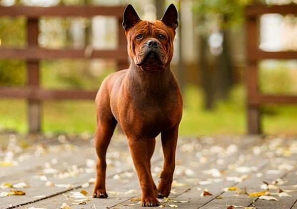 Самые-дорогие-породы-собак-2