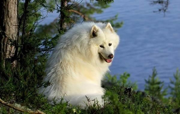 Самые-дорогие-породы-собак-5