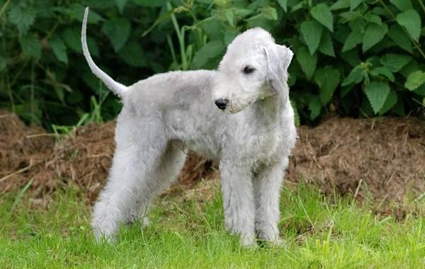 Самые-дорогие-породы-собак-6