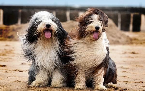 Самые-дорогие-породы-собак-7