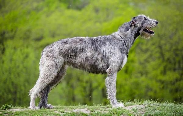 Самые-дорогие-породы-собак-8