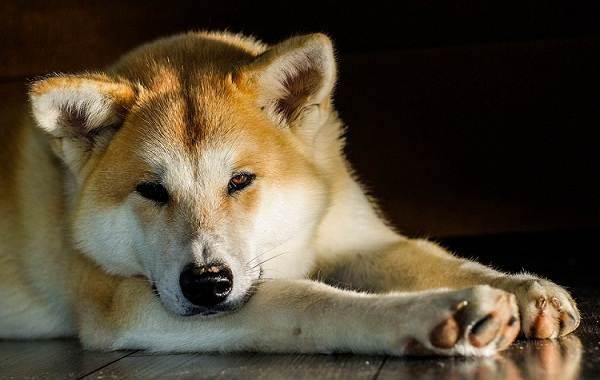 Самые-дорогие-породы-собак