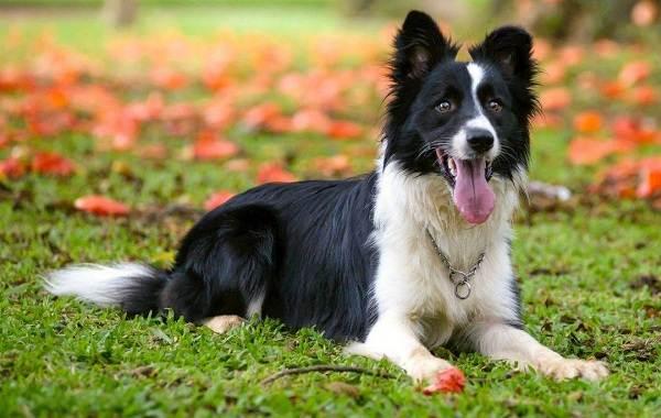 Самые-умные-породы-собак-Описание-названия-виды-и-фото-умных-пород-собак-1