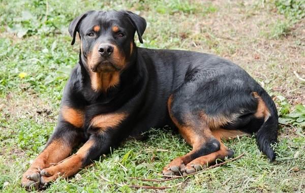 Самые-умные-породы-собак-Описание-названия-виды-и-фото-умных-пород-собак-10