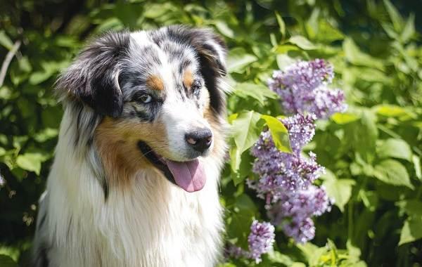 Самые-умные-породы-собак-Описание-названия-виды-и-фото-умных-пород-собак-11