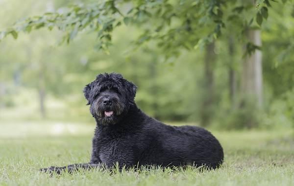 Самые-умные-породы-собак-Описание-названия-виды-и-фото-умных-пород-собак-13