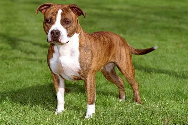 Самые-умные-породы-собак-Описание-названия-виды-и-фото-умных-пород-собак-16