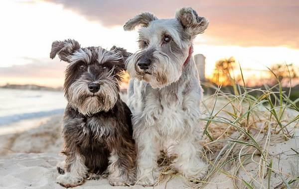 Самые-умные-породы-собак-Описание-названия-виды-и-фото-умных-пород-собак-18