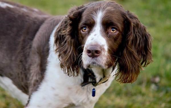 Самые-умные-породы-собак-Описание-названия-виды-и-фото-умных-пород-собак-19