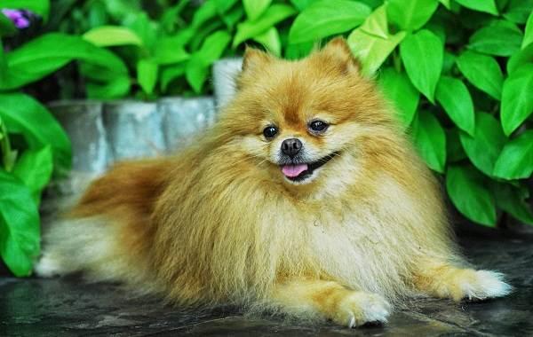 Самые-умные-породы-собак-Описание-названия-виды-и-фото-умных-пород-собак-20
