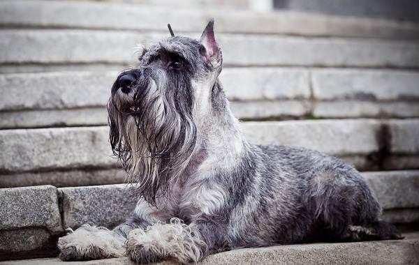 Самые-умные-породы-собак-Описание-названия-виды-и-фото-умных-пород-собак-21