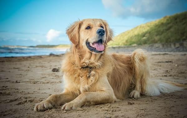 Самые-умные-породы-собак-Описание-названия-виды-и-фото-умных-пород-собак-4