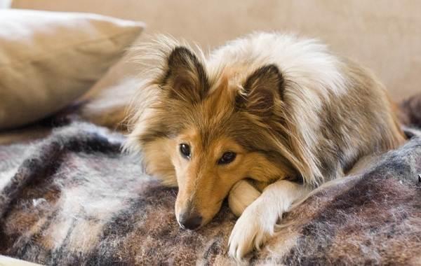 Самые-умные-породы-собак-Описание-названия-виды-и-фото-умных-пород-собак-5