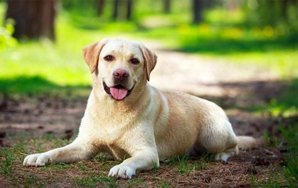 Самые-умные-породы-собак-Описание-названия-виды-и-фото-умных-пород-собак-6