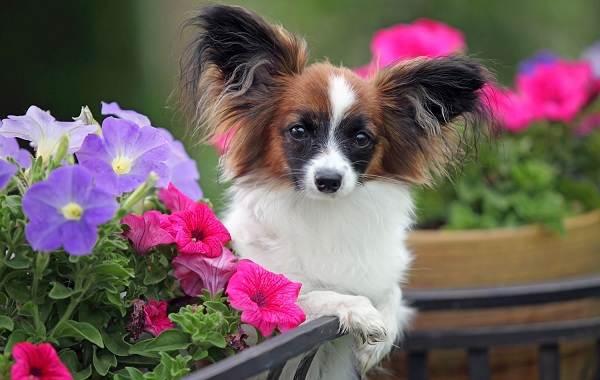 Самые-умные-породы-собак-Описание-названия-виды-и-фото-умных-пород-собак-7