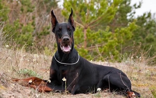 Самые-умные-породы-собак-Описание-названия-виды-и-фото-умных-пород-собак-8