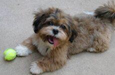 Шипу порода собак. Описание, особенности, виды, характер, уход и цена шипу