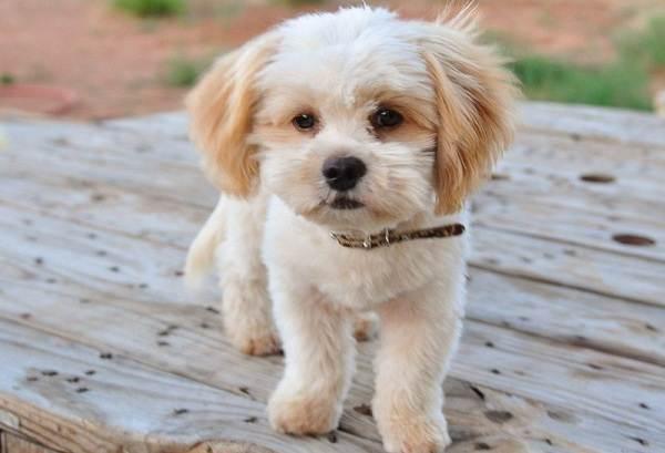 Шипу-порода-собак-Описание-особенности-виды-характер-уход-и-цена-шипу-3