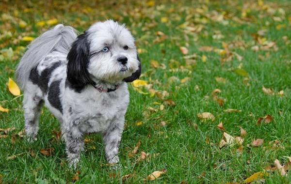 Шипу-порода-собак-Описание-особенности-виды-характер-уход-и-цена-шипу-5