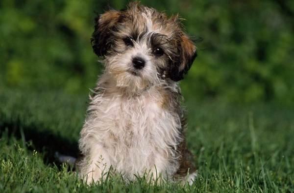 Шипу-порода-собак-Описание-особенности-виды-характер-уход-и-цена-шипу-6