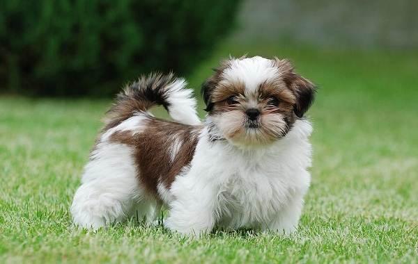 Шипу-порода-собак-Описание-особенности-виды-характер-уход-и-цена-шипу-7