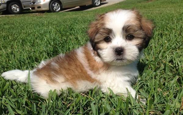 Шипу-порода-собак-Описание-особенности-виды-характер-уход-и-цена-шипу-8