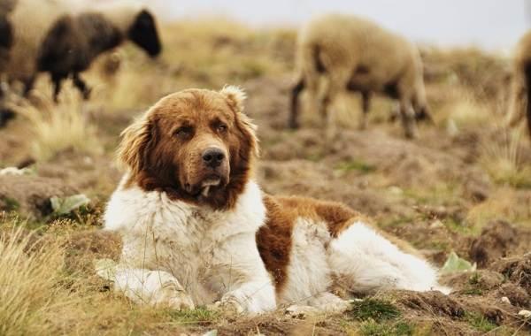 Виды-овчарок-Описание-особенности-названия-и-фото-видов-овчарок-23