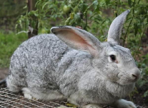Кролики-породы-великан-Описание-особенности-виды-уход-и-содержание-1
