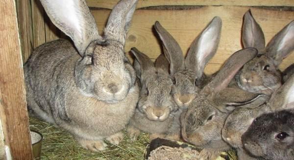 Кролики-породы-великан-Описание-особенности-виды-уход-и-содержание-11