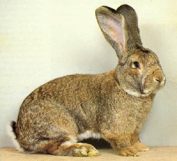 Кролики-породы-великан-Описание-особенности-виды-уход-и-содержание-2