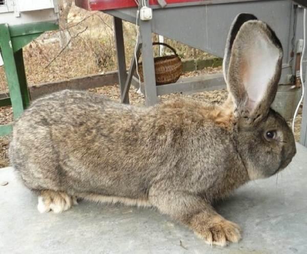 Кролики-породы-великан-Описание-особенности-виды-уход-и-содержание-3