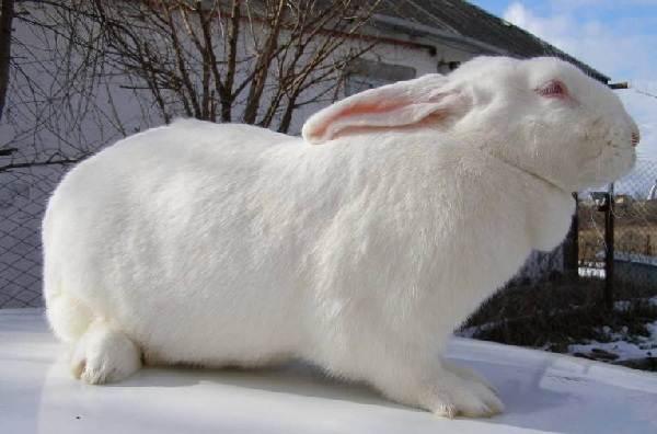 Кролики-породы-великан-Описание-особенности-виды-уход-и-содержание-4