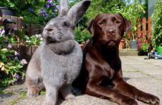 Кролики породы великан. Описание, особенности, виды, уход и содержание