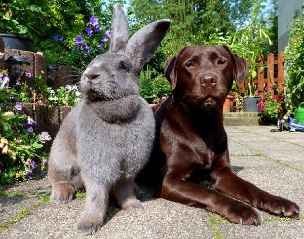 Кролики-породы-великан-Описание-особенности-виды-уход-и-содержание-5