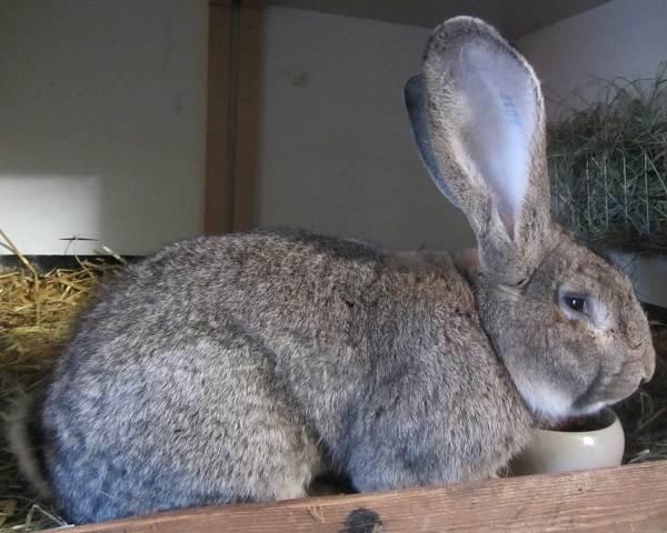 Кролики-породы-великан-Описание-особенности-виды-уход-и-содержание-6