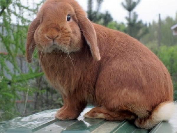 Кролики-породы-великан-Описание-особенности-виды-уход-и-содержание-7